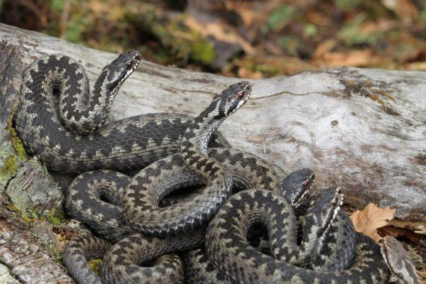 На Прикарпатті почастішали випадки нападу змій. Як уберегтися і що робити у випадку укусу