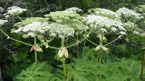 Обережно, борщівник Сосновського - дуже небезпечна рослина!