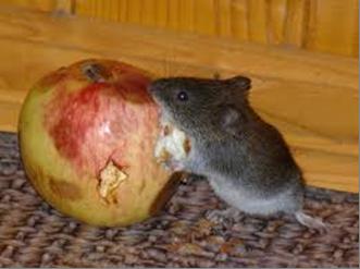 Обережно миші!!!